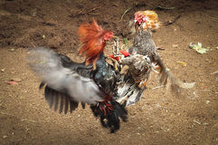 Chiken Fight Stock Image