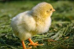 Chiken i det gröna gräset royaltyfri foto