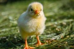 Chiken i det gröna gräset arkivfoto