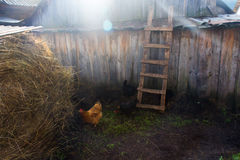 Chiken l'herbe verte Photographie stock libre de droits