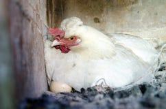 Chiken met het ei Stock Fotografie