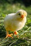 Chiken na grama verde foto de stock