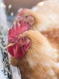 Chikenpaar Royalty-vrije Stock Fotografie