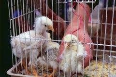 Chikens Image libre de droits
