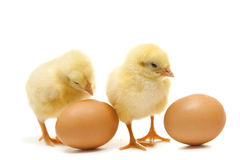 Chikens with eggs. Two isolated chicken with eggs Stock Images