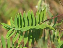 Chikmaglur лист Стоковые Изображения RF
