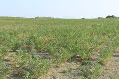 Chikpea field Stock Photos