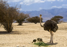 非洲驼鸟的女性与chiks的 免版税库存图片