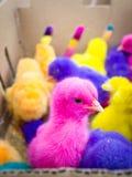 Chiks Fotografía de archivo