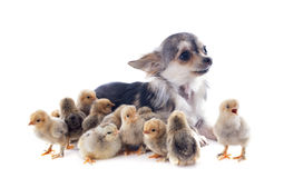 Chiks and chihuahua Royalty Free Stock Images