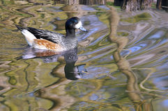Chilöe Wigeon on water Stock Images