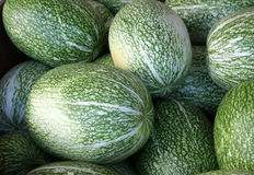 Chilacayote. Chilacayota, shark-fin melon, Malabar gourd, Cucurbita ficifolia, with large oblong to spherical fruits having green skin with irregular white royalty free stock images