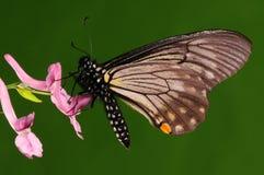 Chilasa epycides /butterfly på blomma Arkivfoton