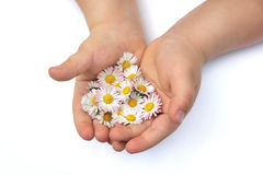 Child´s  hands with Daisy Stock Image
