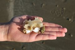 Child& x27; рука s показывая косточку краба, раковины и рыб нашла на пляже пока расчесывать пляжа Стоковое фото RF