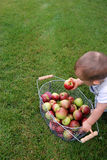 Child with Apples. Fresh basket of apples with young child choosing one Royalty Free Stock Images