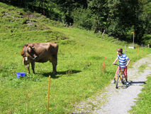 Child on a bicycle watching a cow grazing Stock Photography