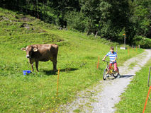 Child on a bicycle watching a cow grazing Royalty Free Stock Image