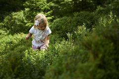 Child blond little girl picking fresh berries on blueberry field in forest. Child pick blue berry in the woods. Little girl playing outdoors. Summer family fun Royalty Free Stock Photography
