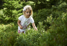 Child blond little girl picking fresh berries on blueberry field in forest. Child pick blue berry in the woods. Little girl playing outdoors. Summer family fun Stock Images