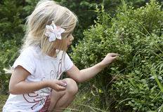 Child blond little girl picking fresh berries on blueberry field in forest. Royalty Free Stock Images