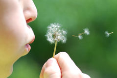 Child and blowball royalty free stock photography