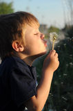 Child blowing on blowball. Young child playing and blowing on a blowball stock image