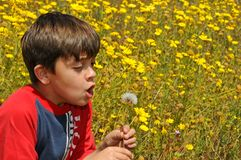 Child blowing a dandelion Stock Image