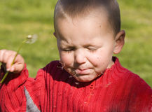 Child blowing dandelion. A male child tries to blow dandelion seeds by shaking flower only to have the wind blow seeds back into his face stock image