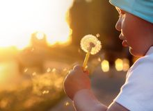 Child blows dandelion pouting cheek sunset  beams glares. Child blows to dandelion pouting of the cheek on the sunset with beams glares Stock Photos