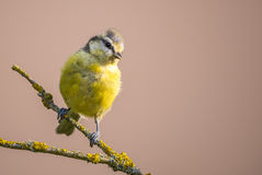 Child blue tit with yellow chest on dry branch with color lichen Royalty Free Stock Image