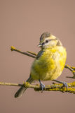 Child blue tit with yellow feathers on branch with yellow lichen Royalty Free Stock Photo