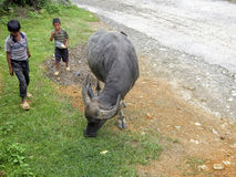 Child with buffalo, Sa Pa, Vietnam Royalty Free Stock Images