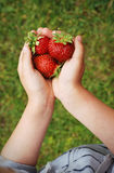 Child carrying three big strawberries Royalty Free Stock Photo