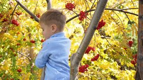 The child climbed a tree. He plays with Rowan berries and yellow leaves. Bright autumn Sunny day. Outdoor entertainment stock video