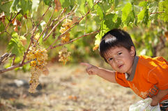 Child collecting grapes. Very seriously royalty free stock photos