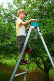 Child collects cherry in a cherry garden. Boy collects cherry, standing on a ladder Royalty Free Stock Photos