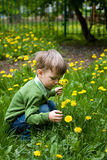 Child collects dandelions Royalty Free Stock Photos