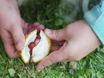 Child conkers hand Royalty Free Stock Photos