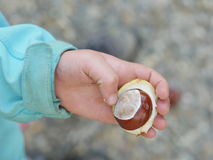 Child conkers hand Stock Photo