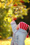 Child considers berries of rowanberry Royalty Free Stock Photos