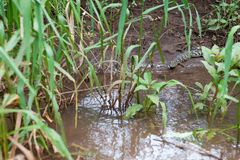 A child crocodile Stock Photos