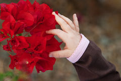 Child Discovering Bougainvillea. A child?s hand reaches out to touch the petals of a red bougainvillea flower. The child is wearing a brown shirt with pink trim Royalty Free Stock Image