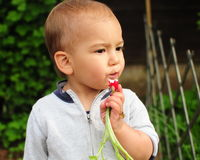 Child eating radish. Portrait of a little boy eating fresh radish from vegetables garden Stock Photography