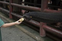 Child feed banana to elephant. Closeup tourism boy hand feeding a banana to trunk of hungry elephant at elephant-trapping pen Stock Photo