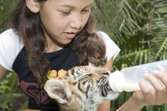 Child feeding baby tiger royalty free stock photo