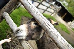 Child feeding donkey Stock Photography