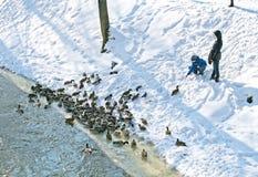 Child feeding ducks stock photography