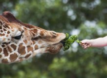 Child Feeding Giraffe by Hand Stock Image