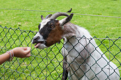 Child feeding a goat Royalty Free Stock Images